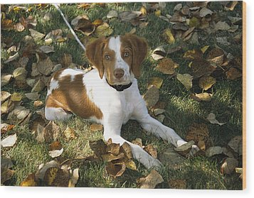 Portrait Of A Brittany Spaniel Puppy Wood Print by Paul Damien