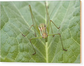 Portrait Of A  Cricket  Wood Print by Cliff Norton