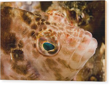 Portrait Of A Hawkfish Cirrhitichthys Wood Print by Tim Laman