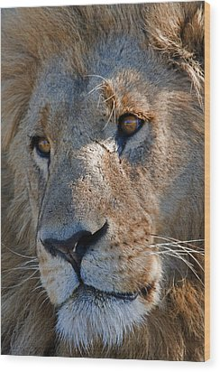 Portrait Of A Male African Lion Wood Print by Beverly Joubert