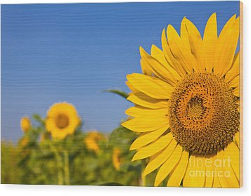 Portrait Of A Sunflower In The Field  Wood Print by Tosporn Preede