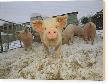 Portrait Of A Young Pig In A Snowy Pen Wood Print by Joel Sartore
