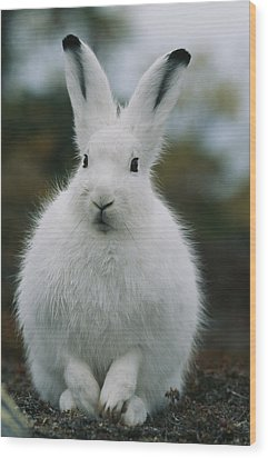 Portrait Of An Arctic Hare Wood Print by Norbert Rosing