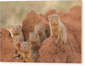 Portrait Of Seven Dwarf Mongooses Wood Print by Roy Toft