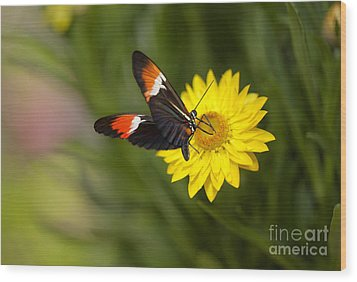 Postman Butterfly On Yellow Straw Flower Wood Print