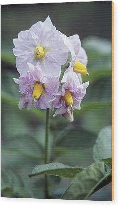 Potato (solanum Tuberosum 'charlotte') Wood Print by Maxine Adcock