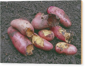 Potatoes Eaten By Pests Wood Print by Maxine Adcock