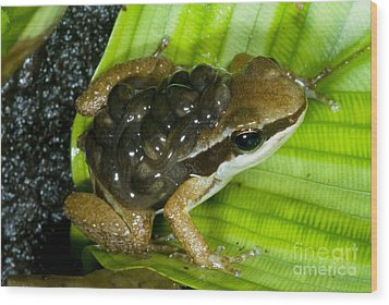 Pratts Rocket Frog With Young Wood Print by Dante Fenolio