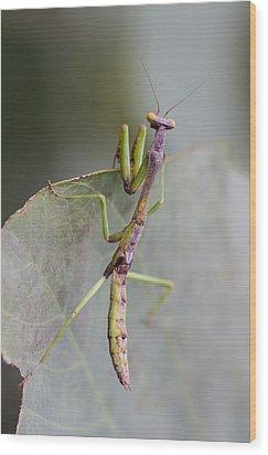 praying Mantis Wood Print by Craig Lapsley