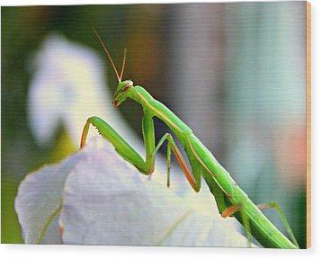 Praying Mantis Wood Print by Jo Sheehan