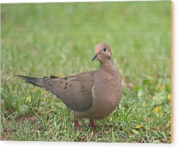 Pretty Mourning Dove Wood Print by Jeanne Kay Juhos