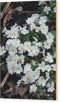Primroses Wood Print by Adrian Thomas