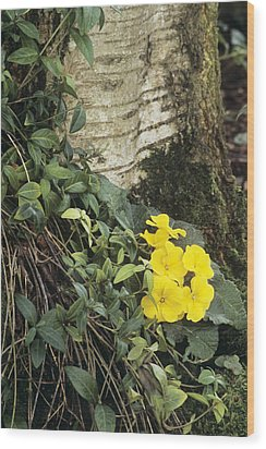 Primula 'wanda' And Vinca Minor Wood Print by Archie Young