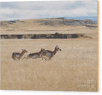 Pronghorn Antelopes On The Run Wood Print by Art Whitton