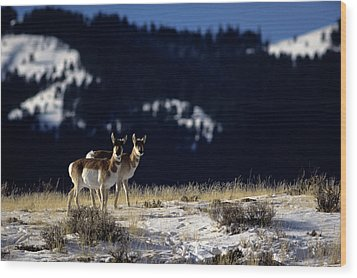 Pronghorn (antilocarpa Americana) Wood Print by Altrendo Nature