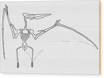 Pteranodon Longiceps Wood Print by Science Source