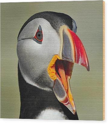 Puffin Portrait Wood Print by Tony Beck