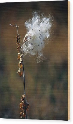 Puffy Milkweed Fluff Wood Print