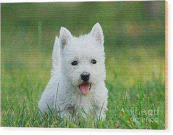 Puppy West Highland White Terrier Wood Print by Waldek Dabrowski