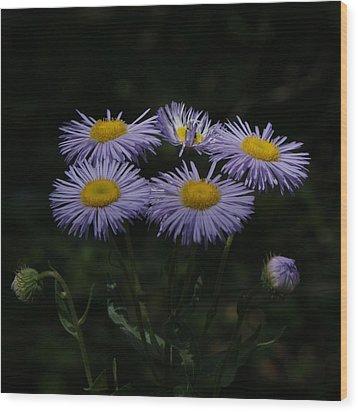 Purple Asters Wood Print by Ernie Echols