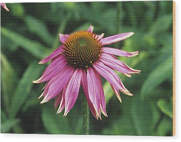 Purple Coneflower Wood Print by Duncan Smith