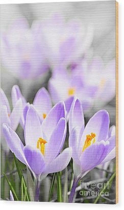 Purple Crocus Blossoms Wood Print by Elena Elisseeva