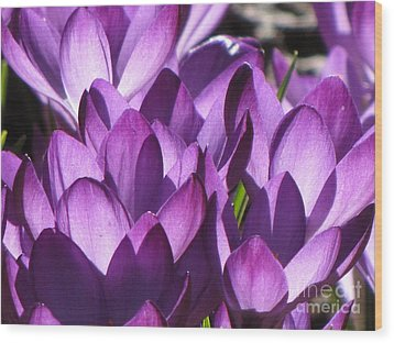 Wood Print featuring the photograph Purple Crocus by Michele Penner