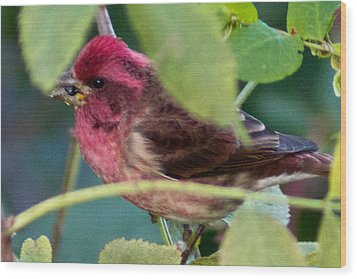 Purple Finch 3 Wood Print