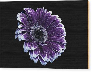 Purple Gerbera  Wood Print by Fiona Messenger