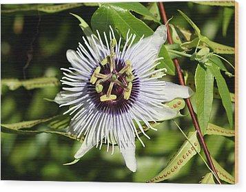 Purple Passionflower Wood Print by April Wietrecki Green