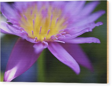 Purple Water Lily Petals Wood Print by Kicka Witte
