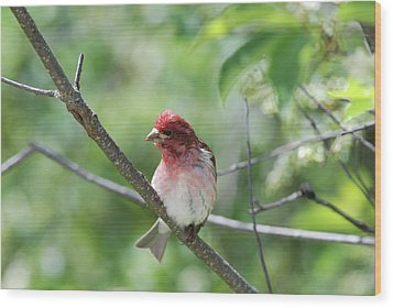 Purrple Finch Pose Wood Print