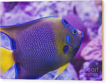 Quenn Angelfish Wood Print by Scotts Scapes