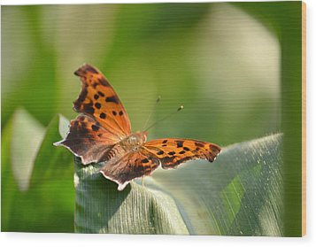 Wood Print featuring the photograph Question Mark Butterfly by JD Grimes