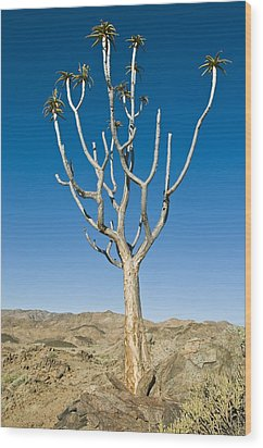 Quiver Tree Wood Print by Peter Chadwick