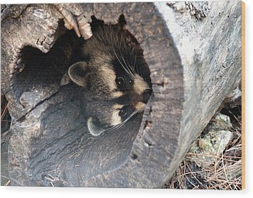 Wood Print featuring the photograph Raccoon In Hiding by Kathy  White