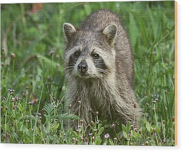Raccoon Looking For Lunch Wood Print by Myrna Bradshaw