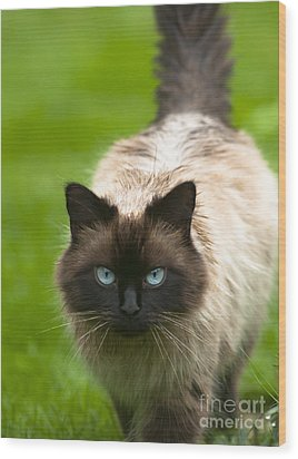 Wood Print featuring the photograph Ragdoll Cat by Andrew  Michael