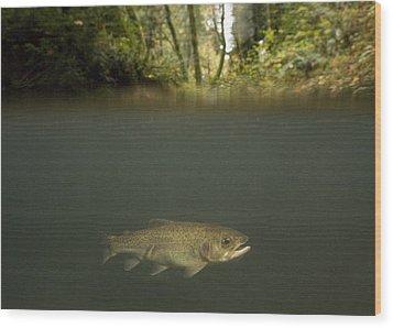 Rainbow Trout In Creek In Mixed Coast Wood Print by Sebastian Kennerknecht