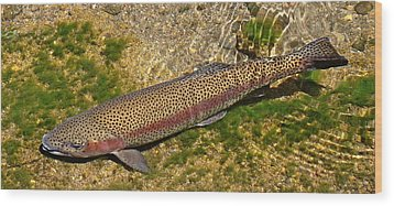 Rainbow Trout Wood Print by Nick Kloepping