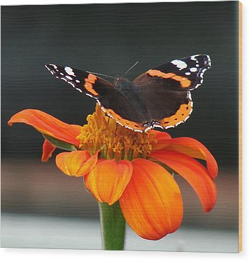 Red Admiral Wood Print by Nicola Butt