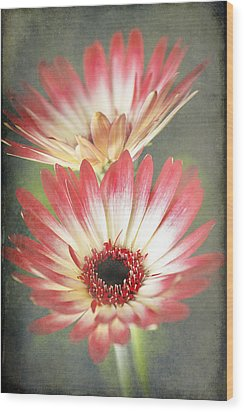 Red And Cream Gerbera Wood Print by Fiona Messenger