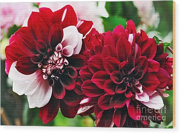 Red And White Variegated Dahlia Wood Print by Kaye Menner