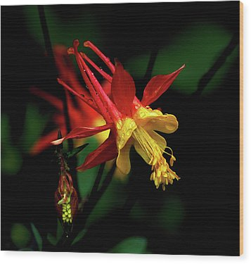 Red And Yellow Columbine Wood Print
