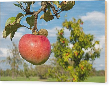 Red Apple On Branch Of Tree Wood Print by Matthias Hauser