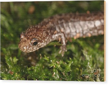 Red-backed Salamander Wood Print by Ted Kinsman
