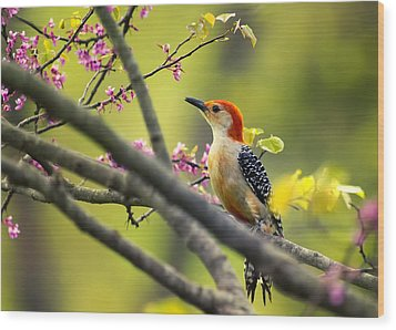 Red Bellied In Tree Wood Print by Bill Tiepelman