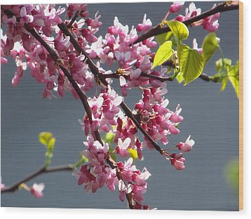 Red Bud In Blooms Wood Print by Alfred Ng