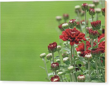 Wood Print featuring the photograph Red Chrysanthemum by Denise Pohl