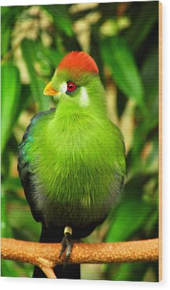 Red Crested Turaco Wood Print by Puzzles Shum